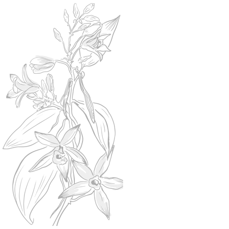 plante curcuma inde