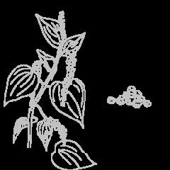 Poivre noir de Madagascar Bio