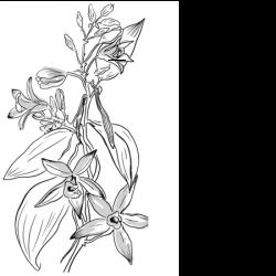 20 gousses - Vanille Tahitensis – 18cm