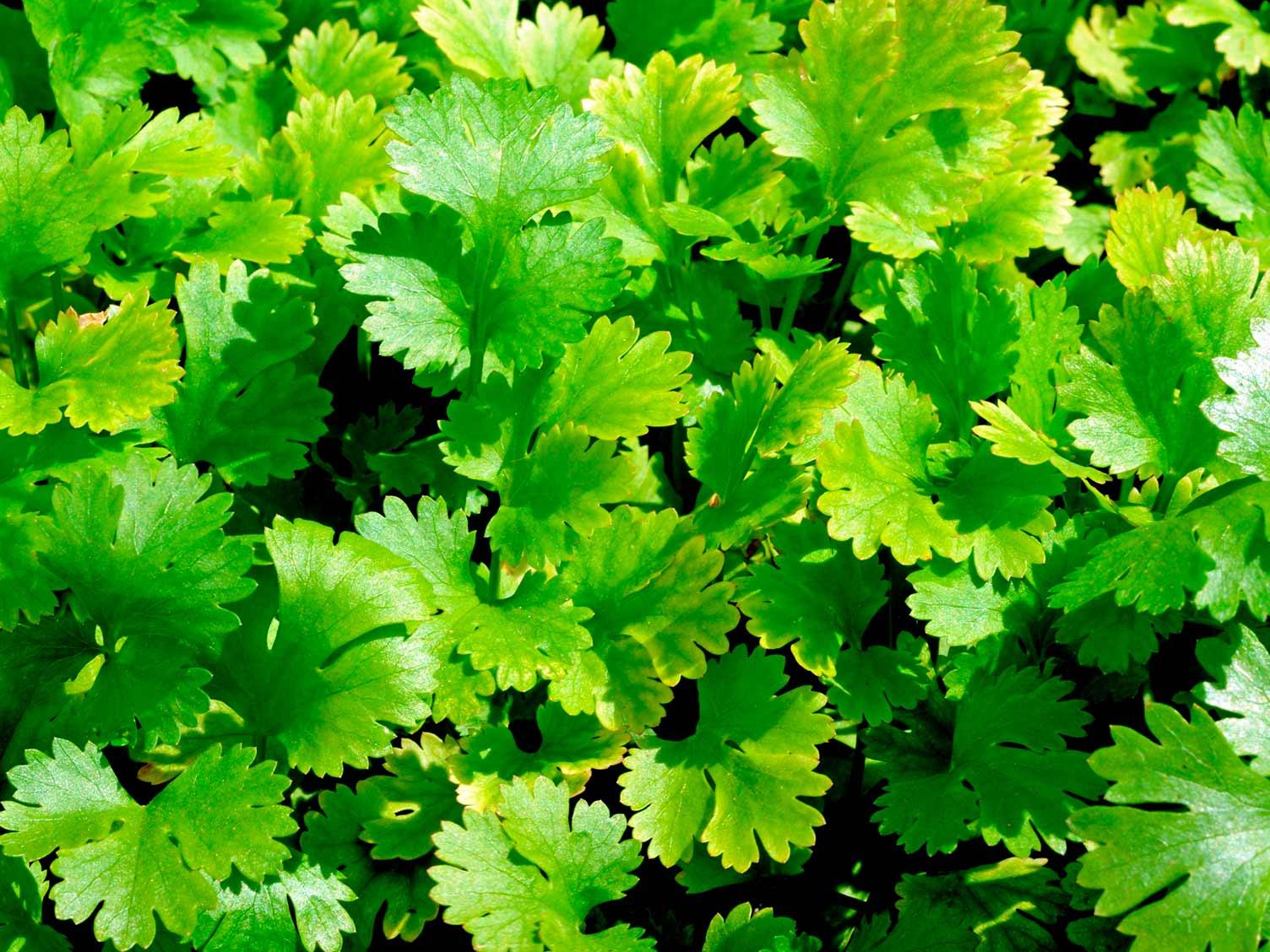 La coriandre, plante magique aux multiples usages